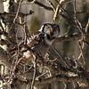 A photographer's nightmare (annkelliott) Tags: winter canada tree bird nature birds branch adult outdoor hunting alberta owl perched tangle ornithology avian birdofprey northernhawkowl surniaulula annkelliott anneelliott frontsideview nwofcalgary fz200 fz2003 8february2016