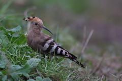 Hoopoe (cooky1959) Tags: staffordshire westmidlands hoopoe rarity hinksford