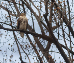 RTH_9565_nybg_12-19-15_resized (profman_wildlife_photos) Tags: nyc red ny nature birds canon hawk bronx wildlife tail 300mm raptor 7d l raptors nybg redtail hawks redtailhawk bronxny canon300mml canon7d