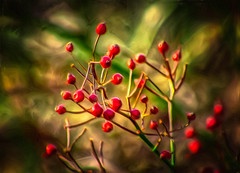 Red-Berries-Painting (desouto) Tags: trees red nature painting berries peaceful
