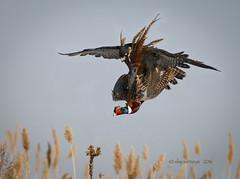 The Hit (slsjourneys) Tags: lifestyle raptor falcon falconry peregrinefalcon