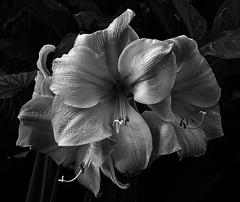Blooms in mono (littlestschnauzer) Tags: flowers plant nature petals large tropical bloom blooms 2016