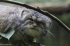 manul (phanefelin) Tags: de chat palace des parc manul felins