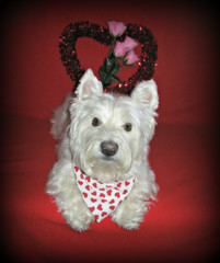 "2/12A ~ ""Riley has Love for Everyone"" (ellenc995) Tags: riley westie westhighlandwhiteterrier 12monthsfordogs16 valentinesday love rubyphotographer thesunshinegroup coth supershot challengeclub coth5 pet100 thesuperbmasterpiece abigfave pet500 akob alittlebeauty pet1000 pet1500 thegalaxy 100commentgroup"