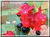 Gott desFriedens / God of peace (Martin Volpert) Tags: flower fleur jesus flor pflanze bible blomma christianity blume fiore blüte bibel blomster virág christus lore biblia bloem blóm çiçek floro kwiat flos ciuri bijbel kvet kukka cvijet flouer glauben christentum bláth cvet zieds õis floare תנך blome žiedas ochnakirkii ochnaceae bibelverskarte mickeymouseplants mavo43 birdseyebushes nagelbeergewächse nagelbeeren