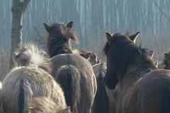 De Stille Kern_Horsterwold_Zeewolde_konikpaard_8 (Edwin Pijpers) Tags: natuur horsterwold landschap zeewolde konikpaarden destillekern