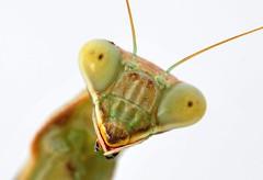 Sphodromantis viridis (Celimaniac) Tags: macro mantis prayingmantis mantide gottesanbeterin sphodromantisviridis africanmantis nikond800