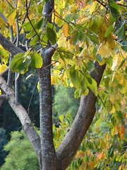 starr-061225-2922-Diospyros_kaki-fall_colors_trunk_and_leaves-Olinda-Maui (Starr Environmental) Tags: diospyroskaki