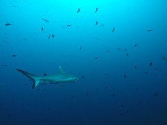 Maldives: Grey Reef Shark (mr-mojo-risin) Tags: ocean blue water shark marine crystal wildlife scuba clear maldives greyreefshark