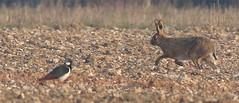 Perfect chalk grassland scene (Robin M Morrison) Tags: chalk hare lapwing wiltshire grassland salisburyplain