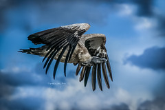 Spread your wings and fly away (Cynthia ten Bras Photography) Tags: bird birds animal animals zoo tiere belgium sony vogels vulture tierpark tier vogel dierentuin dierenpark gier mondesauvage sonyalpha zoophotography sonyalpha350 safariparcmondesauvage
