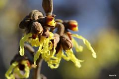 Hamamelis (Henk M gardenphotoblog) Tags: flowers winter garden outdoor tuin signofspring lenteteken nimg0518