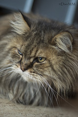 Whisky the cat (lanpart1) Tags: cat kitten maine coon gat miau mew