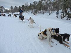 Just to show I did it, Dog Sledding. Kuskjellhola near Malangen Brygger Resort, Mestervik, Norway (Cactipal) Tags: norway husky sledding tromso cactipal