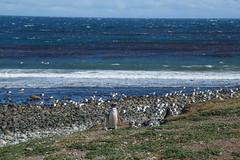 Isla Magdalena (silkylemur) Tags: ocean chile cruise sea patagonia seascape southamerica pinguinos canon lens landscape tierradelfuego ship fullframe canoneos ona zoomlens endoftheworld beaglechannel chilena puntaarenas findelmundo islamagdalena landscapephotography magellanicpenguins llens 24105mm canonef canonef24105mmf4l canonef24105mmf4lisusm  magdalenaisland eflens patagoniachilena selknam canonef24105mmf4lisusmlens efmount chileanpatagonia regindemagallanesydelaantrticachilena canoneos6d fuegian regindemagallanesydelaan