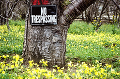 No trespassing (Bruce_of_Oz) Tags: cherry blossom kodak voigtlander 400uc bessamatic cherryorchard 1354 dynarex
