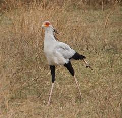 Secretary Bird,  Tanzania 2014 (rsilwar@yahoo.com) Tags: africa park bird tanzania east ngorongoro national crater secretary photosafari vogel reinhard sekretär ostafrika silwar