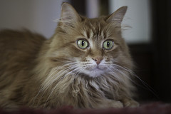Mandy Monday: Cutie Cute Girl (Photo Amy) Tags: red orange pet cute cat fur ginger furry kitten feline tabby longhair adorable fluffy whiskers precious whisker cuddly cuteness longhaired aminal ef50mm18 eartufts toefur canon50d