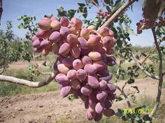 مرغوبترین نوع نهال پسته گلدانی و نهال انار (iranpros) Tags: انار نوع نهال پسته گلدانی مرغوبترین مرغوبتریننوعنهالپستهگلدانیونهالانار نهالانار نهالپسته