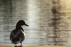 What's Behind and What's Ahead 04092016 (Orange Barn) Tags: water standing duck mallard ripples lookingback wildfowl mallarddrake pekinillinois mineralspringspark pekinparkdistrict