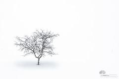 Dans le blanc (photosenvrac) Tags: neige arbre blanc finlande laponie thierryduchamp