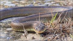 CULEBRA DE ESCALERA (BLAMANTI) Tags: reptiles serpientes