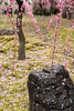 20160229-101113_5K_80 (pya) Tags: kyoto 京都 camellia plumblossoms jonangu 梅花 茶花 城南宮 椿花 weepingplumblossoms