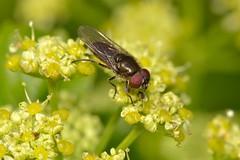Cheilosia sp. Macho (Jess Tizn Taracido) Tags: syrphidae diptera cheilosia eristalinae cyclorrapha