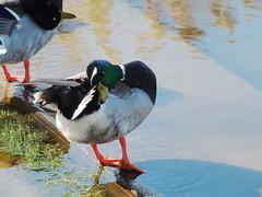 P4140034B (The Real Maverick) Tags: toronto ontario canada water duck highpark outdoor mallard grenadierpond torontoparks olympusstylus1