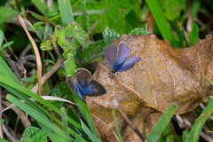 Leptotes pirithous (Linnaeus, 1767). Hembra + Macho (Jess Tizn Taracido) Tags: lepidoptera lycaenidae papilionoidea polyommatinae leptotespirithous polyommatini