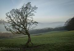 walking tree in winter (deborahrobinson) Tags: wood winter mist tree green walking roots lancashire hills treetrunks forestofbowland ancientwood
