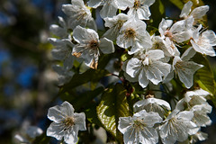 IMG_5359 (seba82) Tags: primavera tommaso fiori filippo seba marianna ciliegi vignola familiasalati