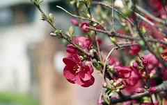 Flowering quince (odeleapple) Tags: flower film 50mm nikon f100 af nikkor quince f18d fujicolor100