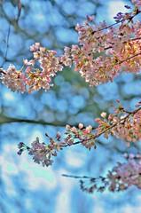 April Blossoms (W.R. van Straalen) Tags: pink zoo spring rotterdam blijdorp blossoms 2016 14teleconverter minolta70200mm sonya77 sharedwithpixbufcom
