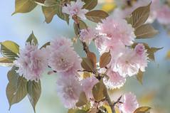 Morning light (Filsa Bint Ahmed) Tags: morning flowers blue light sky sunlight nature leaves japanese virginia pastel double richmond flowering cherryblossoms tones sunnyday sakurablossoms spring2016