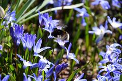 Happy bumblebee (Maria Eklind) Tags: blue flower macro closeup se skne sweden outdoor bumblebee sverige makro scilla malm vr natuer gustavadolfstorg blhimmel skneln vrtecken springsign gamlakyrkogrden
