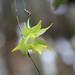 4Q4B4047_Aeranthes neoperrieri (Fleur)