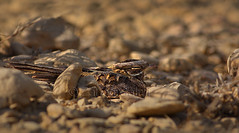 Indian nightjar (Zahoor-Salmi) Tags: camera pakistan 2 macro nature birds animals canon lens photo tv google flickr natural action mark wildlife watch bbc 7d punjab discovery wwf salmi walpapers chanals beutty bhalwal zahoorsalmi
