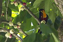 _V3A4610arw50 Toucan feeding in a tree at the Botanical  Gardens in Rio de Janeiro, Brazil. (Wilfred Paulse) Tags: brazil bird brasil toucan ave jardimbotanico botanicalgarden tucano