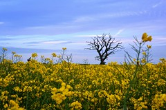 my lonely dead tree (C-Smooth) Tags: blue sky tree nature field yellow clouds rural landscape one spring colours view seeds oil lonely colza rapeseedfield