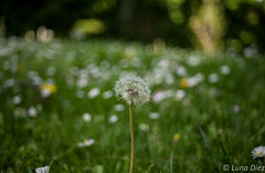 Diente de len (lunadiezdelalastra) Tags: park flores flower macro verde nature beauty grass de countryside bokeh small ground dandelion leon daisy campo diente