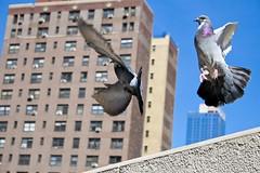byebyebirdy (rayphotographs) Tags: life street city nyc light ny bird art contrast canon real photography fly movement raw action walk manhattan wildlife pidgeon xti