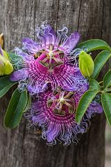 Passiflora cincinnata Mast. (PenduSeb - 2670m) Tags: flores brasil plantas passiflora chapadadiamantina cachoeiradafumaca valedocapao
