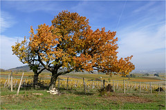 Goldener Oktober 04 (lady_sunshine_photos) Tags: austria europa herbst baum niedersterreich gumpoldskirchen herbstfrbung gumpoldkirchen