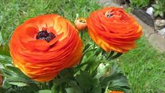 Ranunkel - Ranunculaceae (Hahnenfugewchs) (Zarmarti) Tags: blumen ranunculaceae frhling blten ranunkel frhlingsblume hahnenfusgewchse