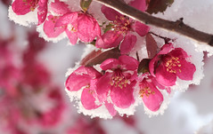 Battle of the seasons (speech path girl) Tags: pink flowers snowy explore crabapple