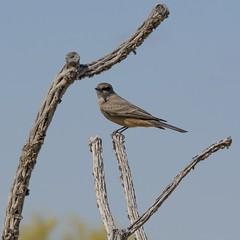 Say's Phoebe (gbglide) Tags: arizona birds tucson wildlife phoebe wash sonorandesert saysphoebe naturex bornholtz eborn