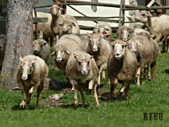 sheep stampede: charge! (Ryuu) Tags: green nature grass animals landscape movement furry dof sheep fast run rush rams ram stampede animalportrait yellowearrings chargingsheep
