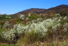 tavaszi tj / spring landscape (debreczeniemoke) Tags: flower tree landscape spring blossom land fa tavasz virg tj tjkp olympusem5