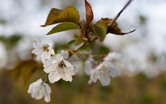 Wild Cherry Blossom (Role Bigler) Tags: wild flower tree nature forest cherry schweiz switzerland suisse blossom natur tamron wald baum emmental explored wildekirsche wildekirschblte canoneos5dsr tamronsp45mmf18divcusd